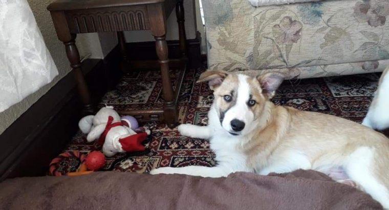 6 month old Border collie puppy