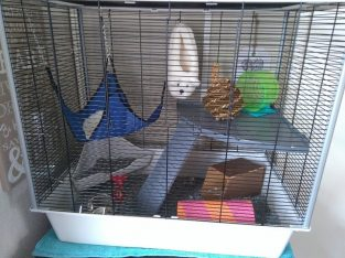 female rats and large cage