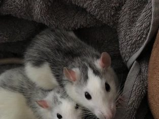 2 female rats aged 7 months £12 or £50 if you'd like the cage aswel
