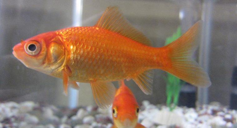 £4 Gold fish