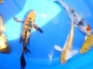 6 inch koi butterfly fish