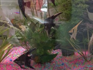 For sale Angel fish