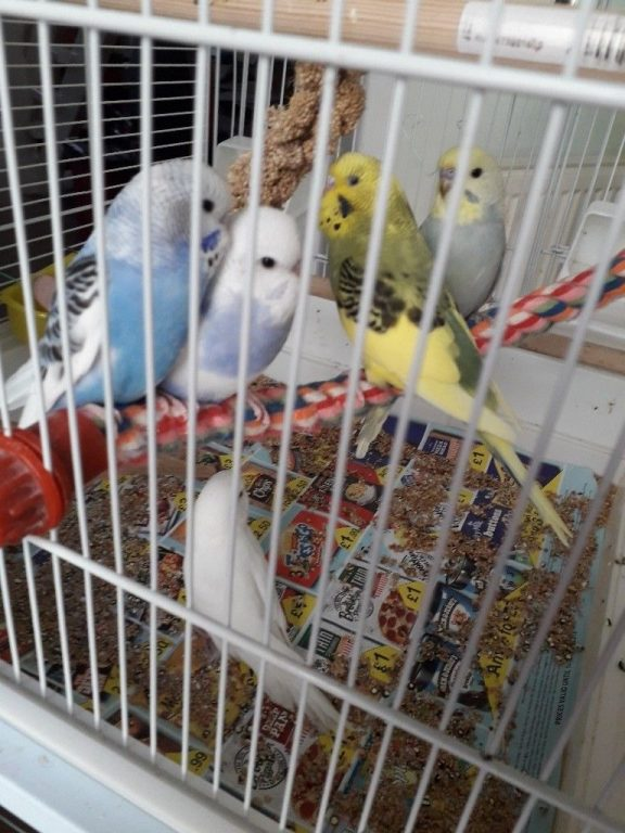 for sale baby budgies   Quick Market