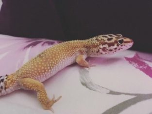 2 Friendly leopard geckos