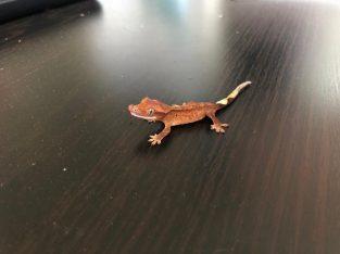Hatchling crested geckos