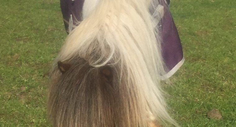 For Sale Very Small Irritating Pony