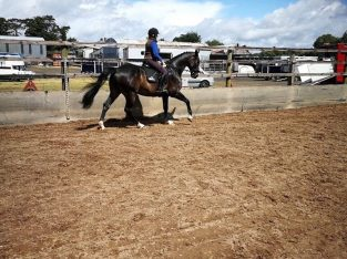 Irish sports horse 16.3 gelding