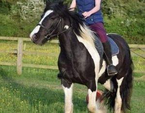 3 years old beautiful piebald cob mare