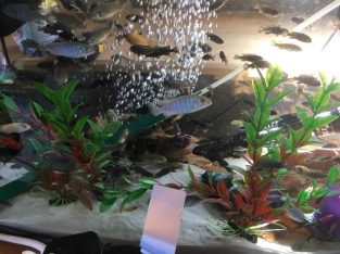 For sale Mixed Malawi cichlid juvenile