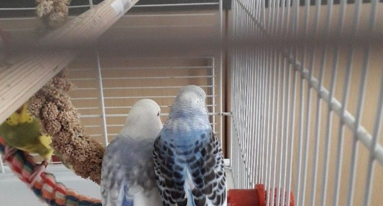 for sale baby budgies | Quick Market