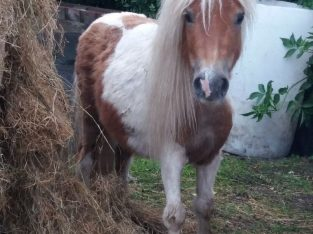 4 year old Shetland mare