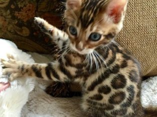 Adorable and Cute Bengal kittens