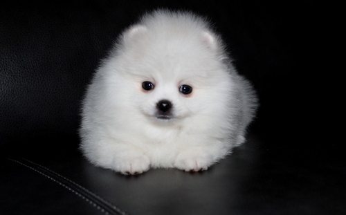 Pure White Pomeranian Puppies.