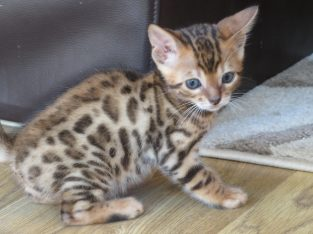 Bengal very friendly kittens pedigree for sale