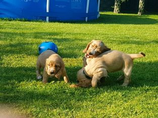 3 awesome cocker spaniel puppies for sale