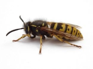 Safe treatment of wasps nests, Wasp Nest Control