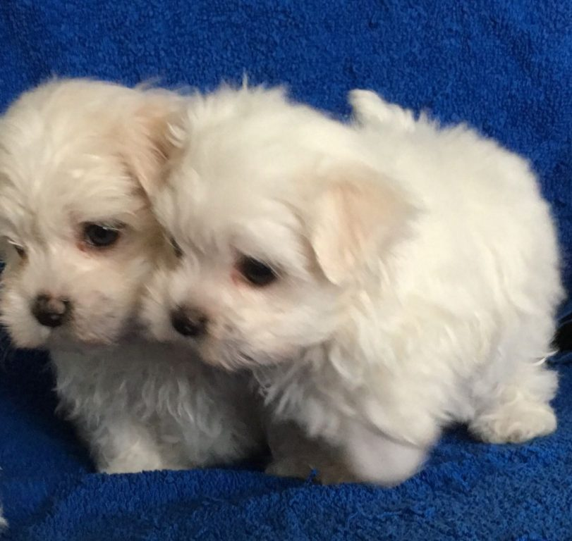 Ready Now To Leavetiny Teacup Creamwhite Maltese Puppies