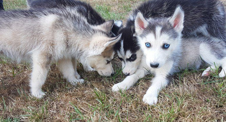 Beautiful Siberian Husky Pups For Sale