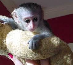 Adorable Capuchin Monkey