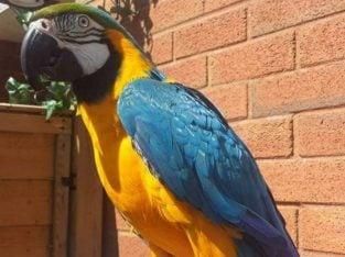 Miligold Macaw F1 Hybrid Mum Military Dad Blugold