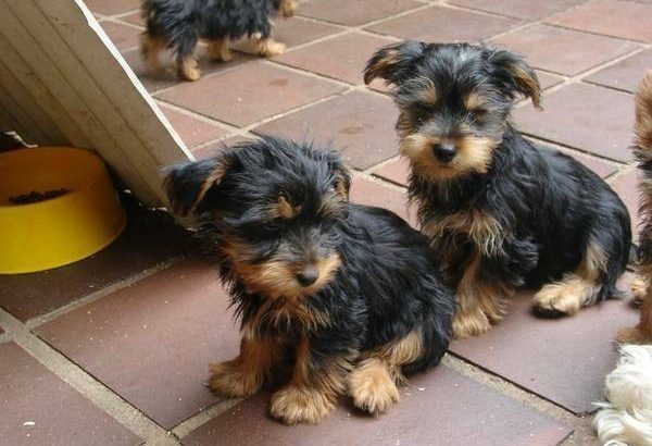 Male And Female Teacup Yorkie Puppies For Sale Quick Market