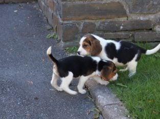 Kc Registered Beagles