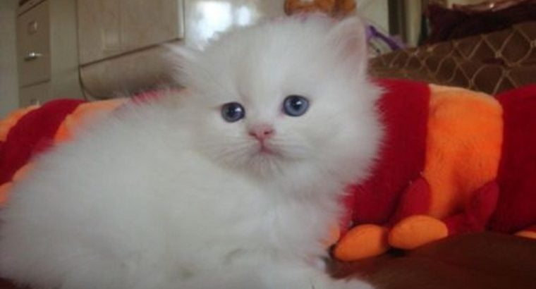 T4eacu9 Persian Kittens for Good Homes Only