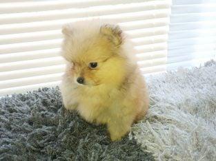 Pomeranian Puppies Boys And Girls