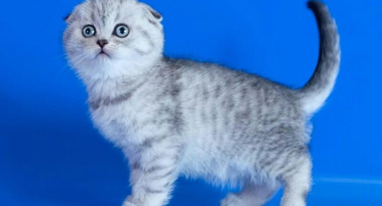 Gorgeous Pedigree Scottish Fold Kittens Ready To Go