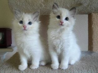 PERFECTLY TRAINED RAGDOLL KITTENS READY FOR SALE