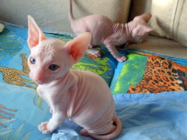 SOCIALISED SPHYNX KITTENS READY FOR X-MAS SALE | Quick Market