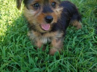 Cute and Adorable Teacup Yorkie