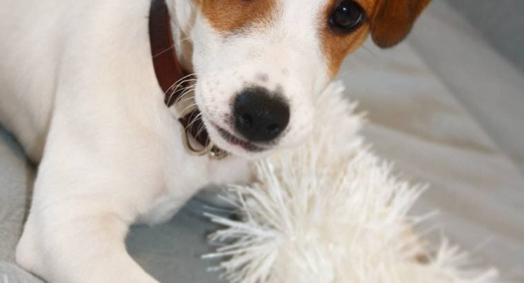 Irresistibly Lovely male Jack Russell Terrier Puppy