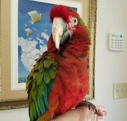Calico Macaws parrots for sale