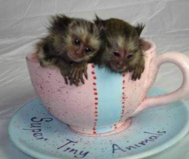 Beautiful Marmoset Monkeys Available – For sale