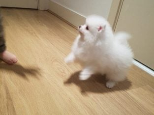 Stunning teddy bear miniature Pomeranian boy