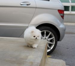 Exclusive Teacup Pure White Pomeranian