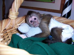 Lovely Male and Female Capuchin Baby Monkeys For P