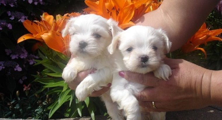 Maltese Pups Available