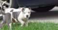 Top Quality Abkc Xl American Bully Puppies