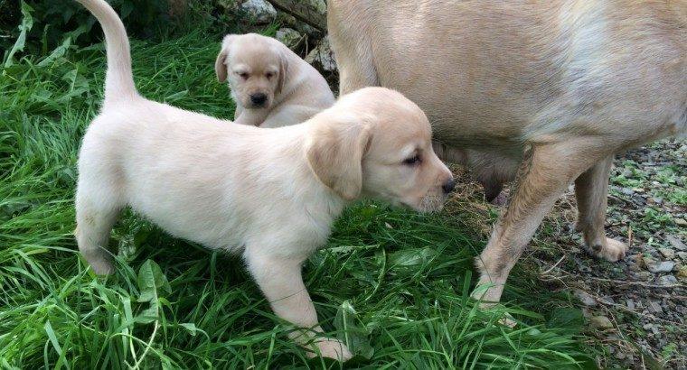 We have two Labrador Retriever pups good prices