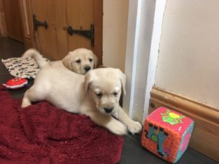 We have two Labrador Retriever pups good prices