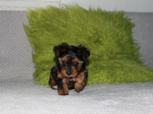 beautiful yorkie puppies