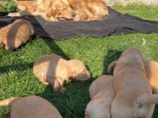 Chunky Quality golden Retriever Pups