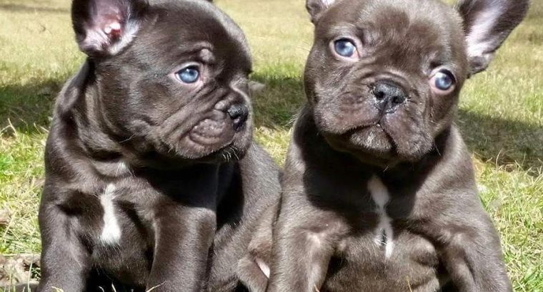Pure Elegant Blue Staffordshire Bull Terrier Pups