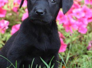Beautiful Labrador Retriever Pups for sale