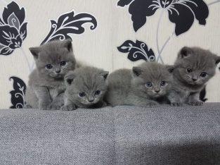 4 Beautiful British Shorthair Kittens.
