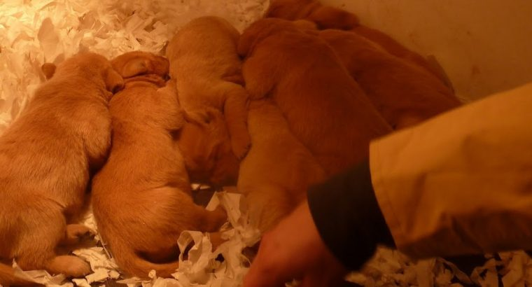 Beautiful Red Labrador Pups for sale