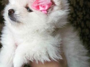 Maltese Puppies ForSale.whatsapp me at: +44741834