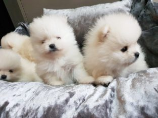 adorable t-cup Puppies contact for informations